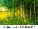 birch grove sun sunset | Shutterstock . vector #1303744012