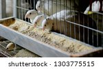 young quails eating in a cage... | Shutterstock . vector #1303775515