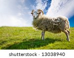 A Sheep Isolated Against A Sky