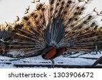 elegant peacock with colored... | Shutterstock . vector #1303906672