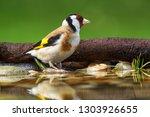 European Goldfinch  Carduelis...