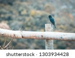 free black bird perched on a... | Shutterstock . vector #1303934428