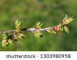 spring gentle leaves  buds and... | Shutterstock . vector #1303980958