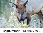 A Female Elk Grazes In...
