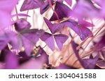 Oxalis Triangular  Purple...