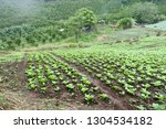 cabbage field in north of... | Shutterstock . vector #1304534182