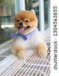 cute pomeranian dog happy smile ... | Shutterstock . vector #1304563855