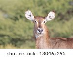 wildlife from africa  ... | Shutterstock . vector #130465295