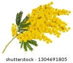 yellow mimosa branch flower....   Shutterstock .eps vector #1304691805