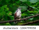 eurasian nuthatch sitting on... | Shutterstock . vector #1304799058