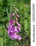 foxglove excelsior hybrids  ... | Shutterstock . vector #1304915095