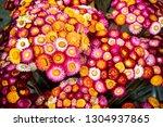varied  color of strawflower... | Shutterstock . vector #1304937865