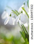 snowdrops on the field spring... | Shutterstock . vector #130497332