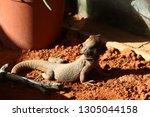 a large bearded dragons basking ... | Shutterstock . vector #1305044158