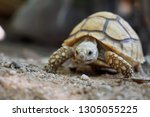 Stock photo close up african spurred tortoise resting in the garden slow life africa spurred tortoise 1305055225
