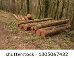 timber stack of recently felled ... | Shutterstock . vector #1305067432