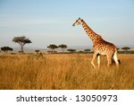 Giraffe Walking Through The...