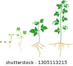 growth stages of raspberry from ... | Shutterstock .eps vector #1305113215