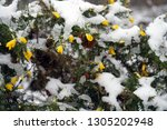 Gorse Bush Yellow Flowers In...