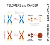 chromosome and telomere for... | Shutterstock .eps vector #1305239125