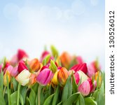 Stock photo fresh growing tulips in garden on blue sky background 130526012