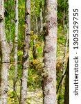 new springtime growth... | Shutterstock . vector #1305329755