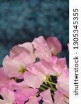 sweet pea flower | Shutterstock . vector #1305345355