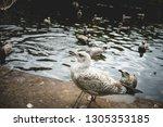simple white spotty seagull on... | Shutterstock . vector #1305353185
