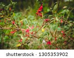 green bush of beautiful red... | Shutterstock . vector #1305353902