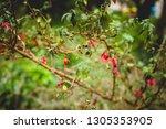 green bush of beautiful red... | Shutterstock . vector #1305353905