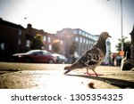 side view of gray pigeon on... | Shutterstock . vector #1305354325
