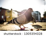 side view of gray pigeon on... | Shutterstock . vector #1305354328