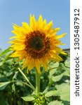 beautiful of sunflower ... | Shutterstock . vector #1305487912