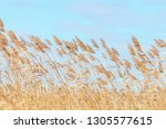 common reed  dry reeds  blue... | Shutterstock . vector #1305577615