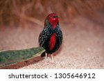 red avadavat  red munia or... | Shutterstock . vector #1305646912