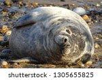 Horsey Gap Grey Seals