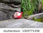 red rose  close up   Shutterstock . vector #1305771358