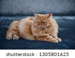 portrait  of big and fat... | Shutterstock . vector #1305801625