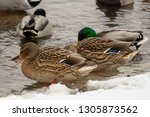ducks on the water of the river ... | Shutterstock . vector #1305873562