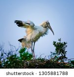 wood stork landing in nest in... | Shutterstock . vector #1305881788