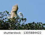 great  white egret displaying... | Shutterstock . vector #1305884422