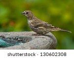 house finch  carpodacus... | Shutterstock . vector #130602308