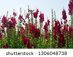 colorful flower of snapdragon... | Shutterstock . vector #1306048738