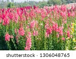 colorful flower of snapdragon... | Shutterstock . vector #1306048765