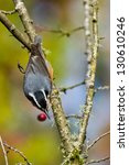red breasted nuthatch  sitta... | Shutterstock . vector #130610246