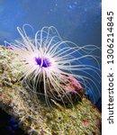 sea anemone  tube anemone  copy ... | Shutterstock . vector #1306214845