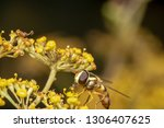 hover fly  flower fly  or... | Shutterstock . vector #1306407625