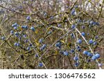 blackthorn twigs with ripe blue ... | Shutterstock . vector #1306476562