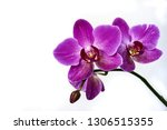 Purple Orchid Flower...