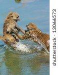 Two Fighting Monkeys  Baboons